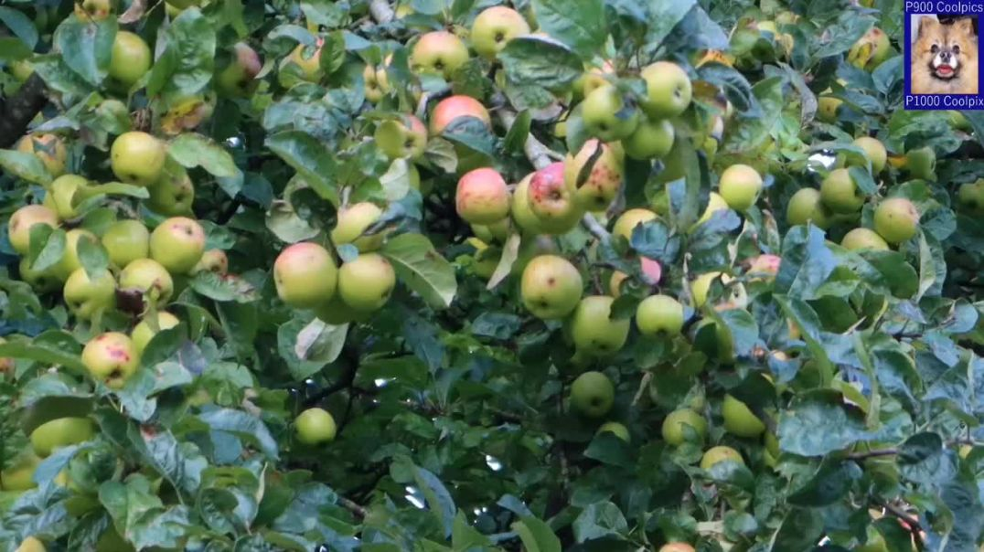 Identifying Crab Apple Tree, And Making Crab Apple Jelly And Crab Apple Cheese