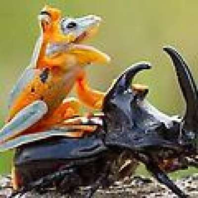 Rodeo Frog