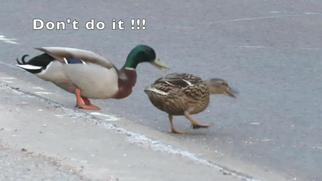 Ducks cause chaos on A96