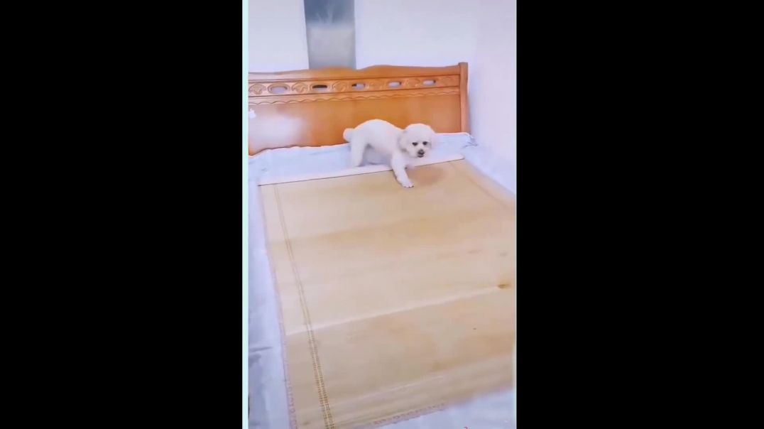 Dog Prepares Its Bed For Nap Time. REALLY CUTE.