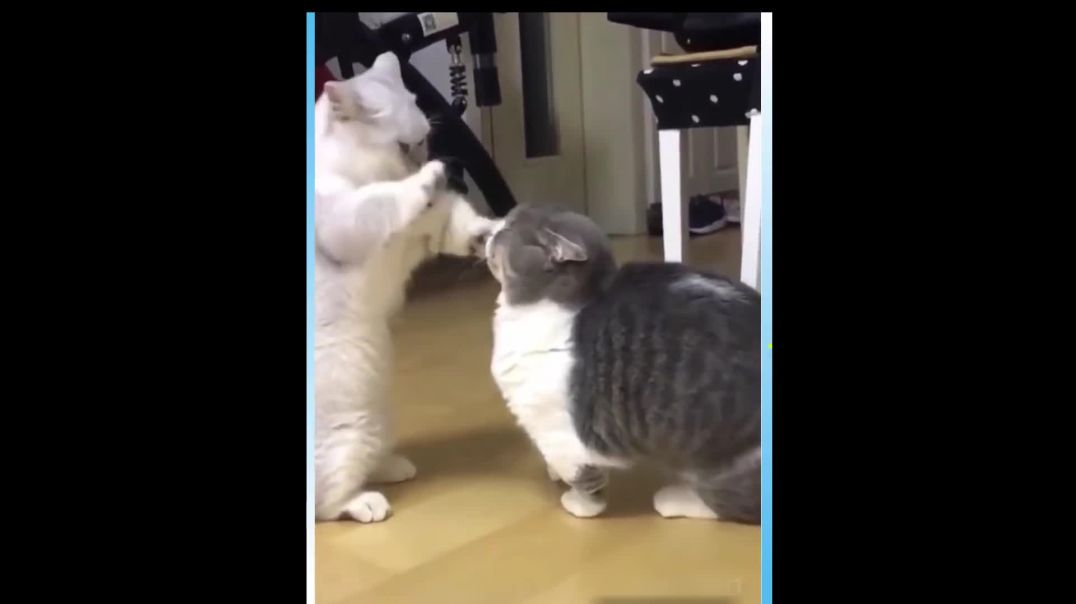 Two CATS Wrestling to Show Who Is Superior ! REALLY CUTE!