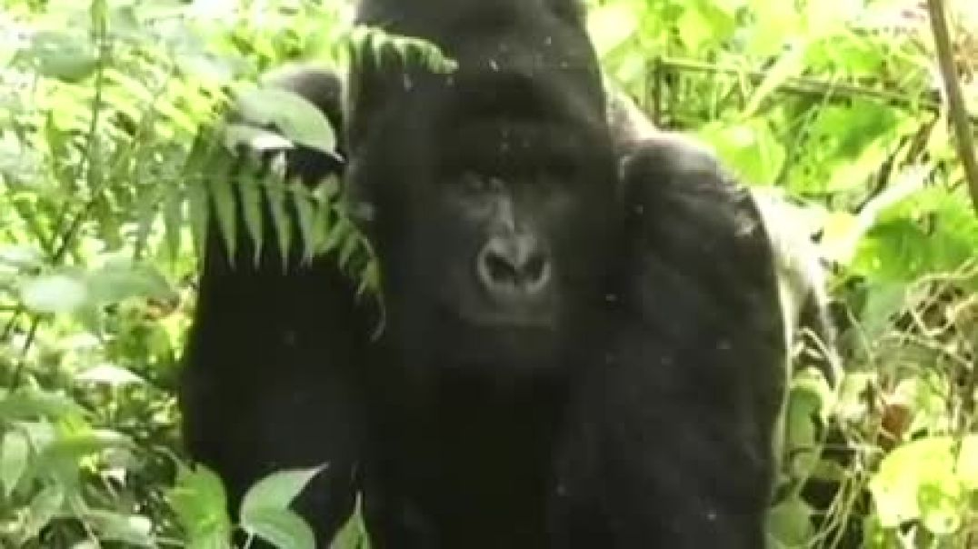Return To Virunga - The Battle To Save The Mountain Gorilla