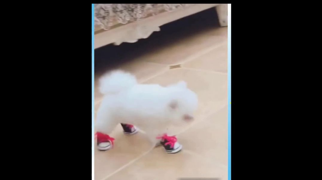 Cute Puppy Walking With Shoes On ! REALLY CUTE !