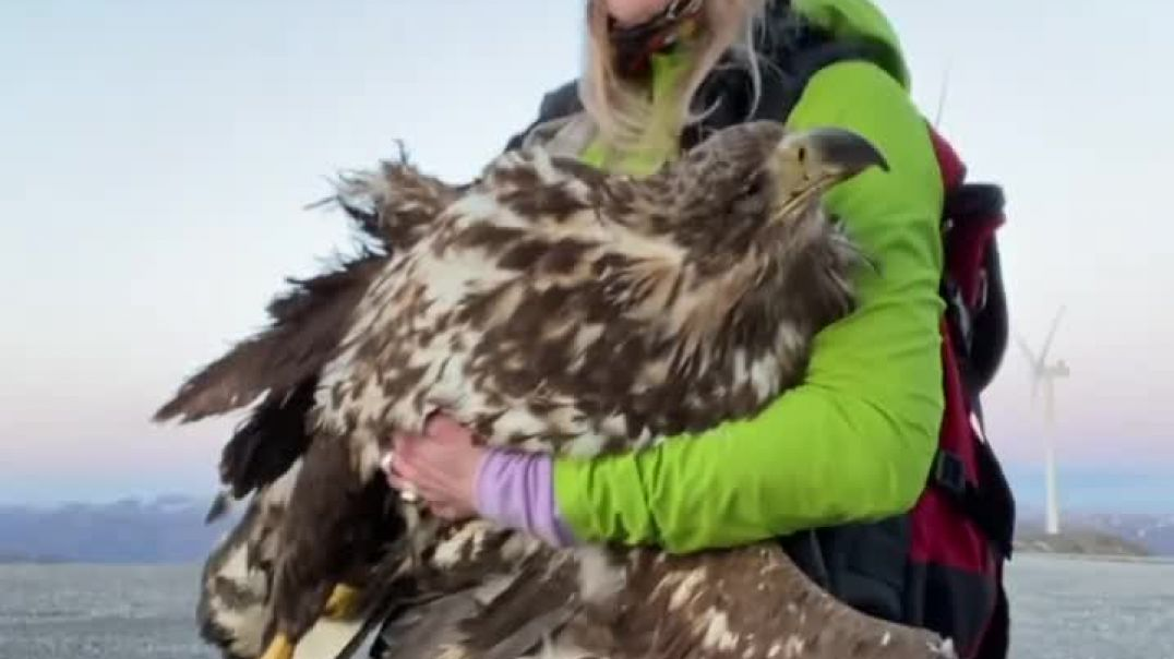 Protected sea eagle cut in two by wind turbine on Harbaksfjellet 1 May 2021
