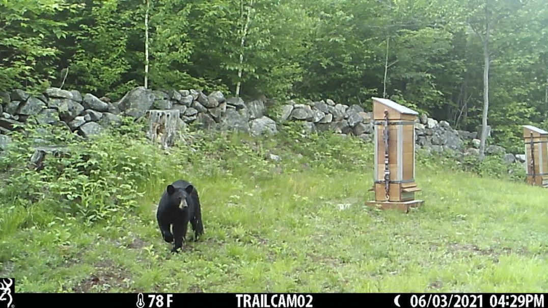 """Black Bear Stalks """"Bee Fortress USA Bear Resistant Bee Hive"""" June 23 2021, 2 of 5"""