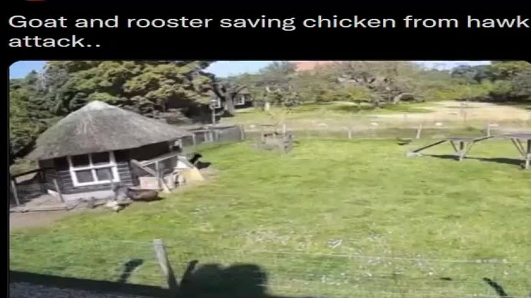 GOAT AND ROOSTER SAVING A CHICKEN FROM A HAWK ATTACK