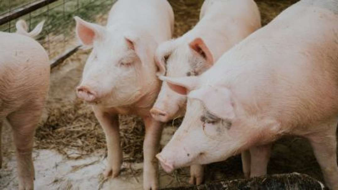 The Attack On The Food Continues! Pigs To The Slaughter! Wake Up Call 09-06-2021