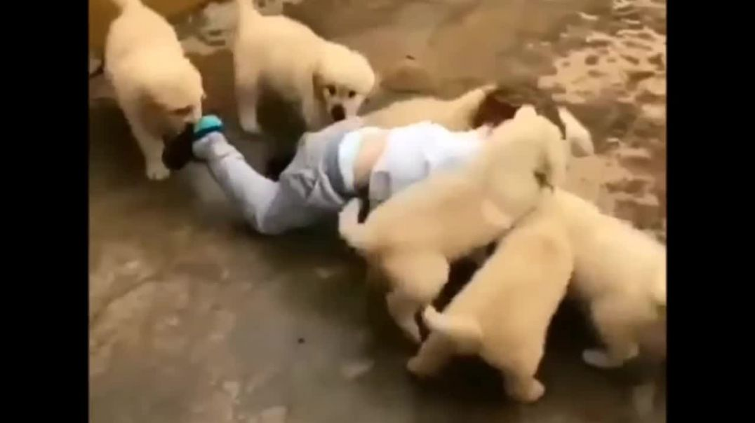 Cute Puppies Doing Funny Things Cute Puppy Tik Tok Video || Cute Puppy Videos