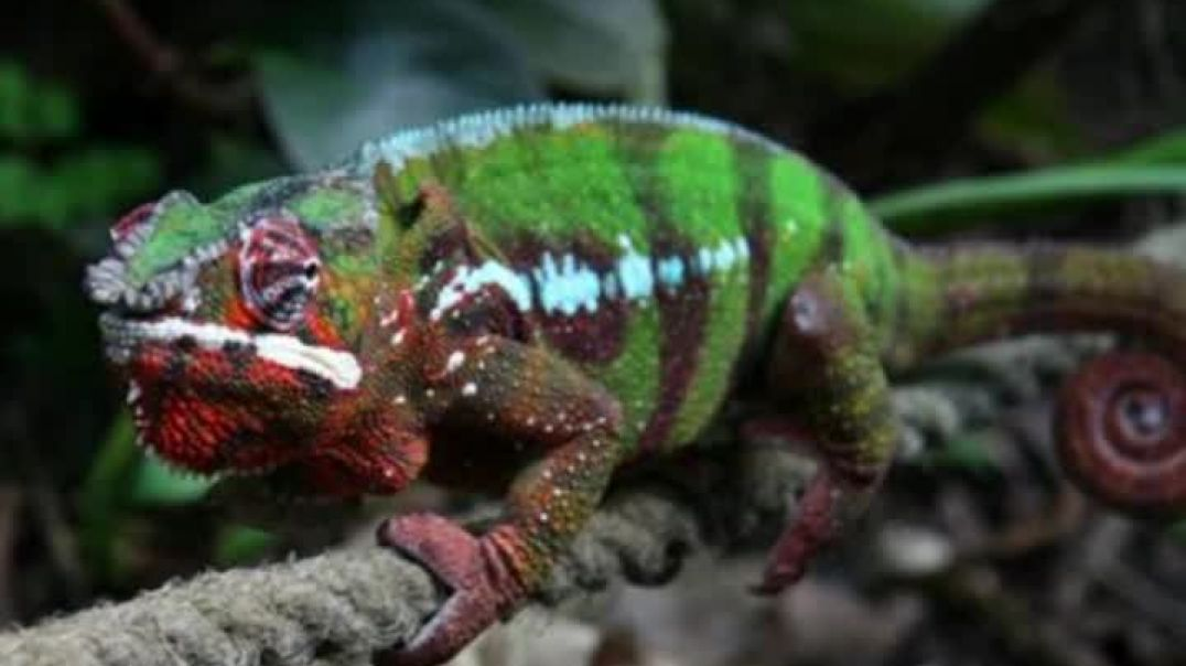 Amazing Facts About Chameleon
